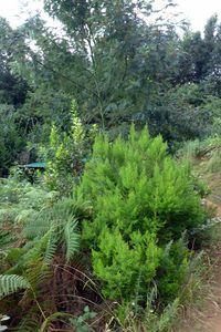Bruyère arborecente, Erica Arborea