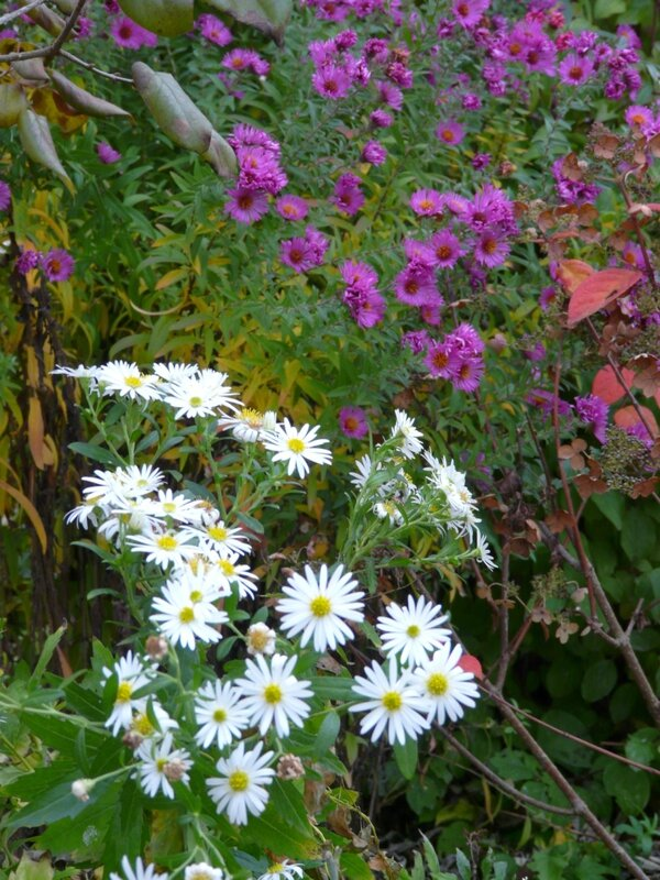 10 - Massif des Sydlys - Asters