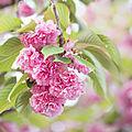 wb_Cerisier à fleurs_20200412_8408