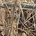 Râle d'eau - Rallus aquaticus (1)
