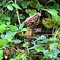 Morille commune parmi la végétation...