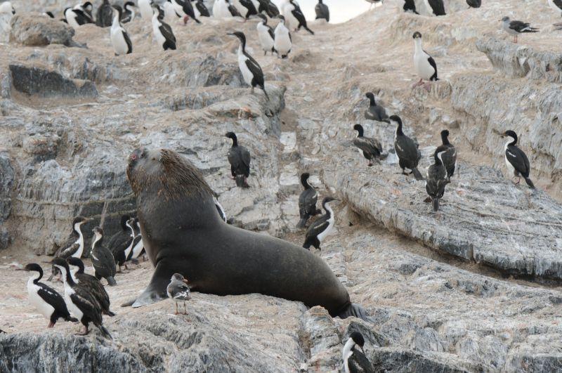 Lion marin et cormorans Canal de Beagle