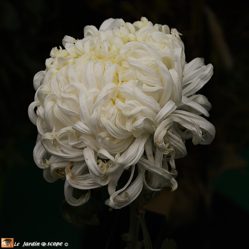 PAT_9059-Chrysanthème