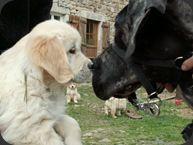 Engy : la différence est de Taille (Dogue allemand)