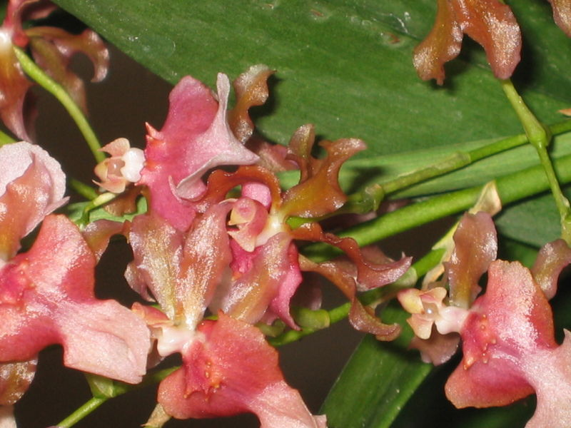 ONCIDIUM ROSY SUNSET