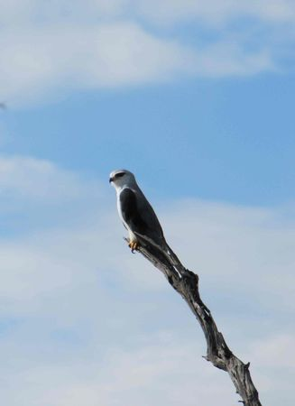 black_shouldered_kite