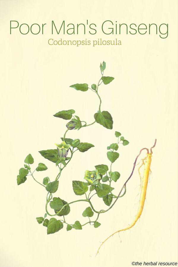 Aadaptogènes - La racine de Codonopsis