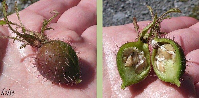 fruits gros couverts de soies hérissées-glanduleuses aa