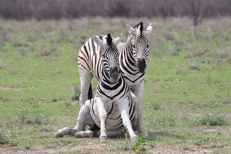 Zèbres de Burchell, parc d'Etosha, Namibie