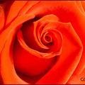 rose0304