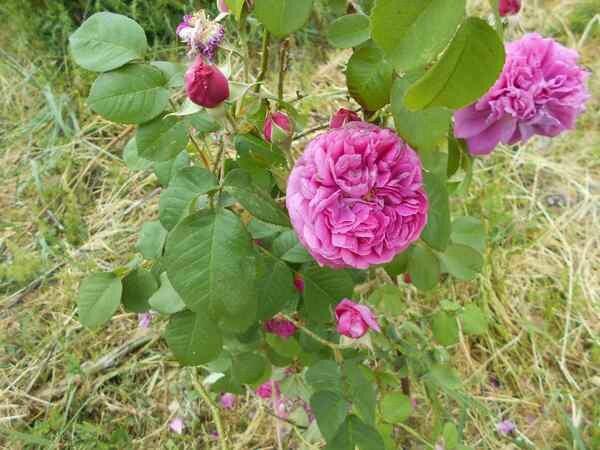 Wretham rose152