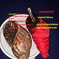 Escargot d'execution de voeux rapide du maître loko vognoon bossa