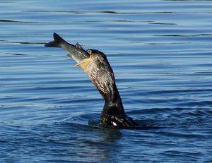 cormoran 6