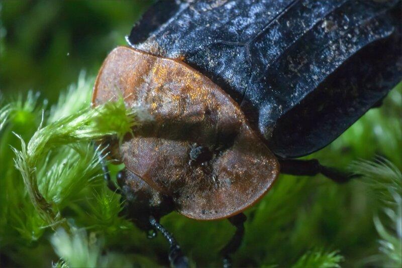 Galuchet ecrevisse morte insecte Silphe à corselet rouge 190616 10 GP