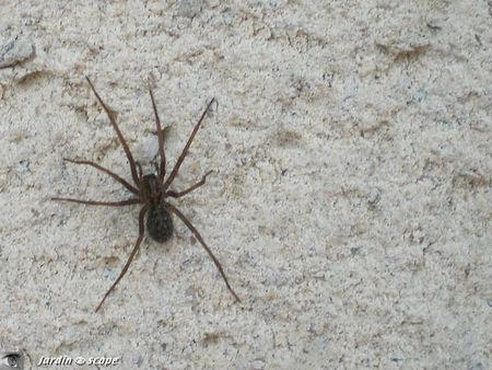 Araignée Tégénaire sp.