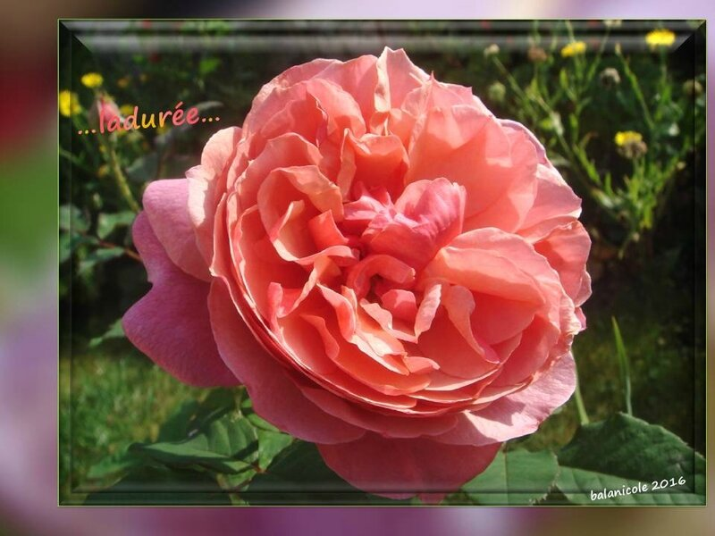 balanicole_2016_11_les nouveaux rosiers de balanicole_L comme ladurée_05