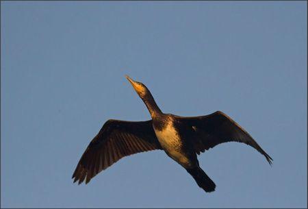 ville lulu cormoran branche vol 201111