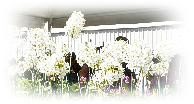 ORCHIDEES BLANCHES EN COROLLE