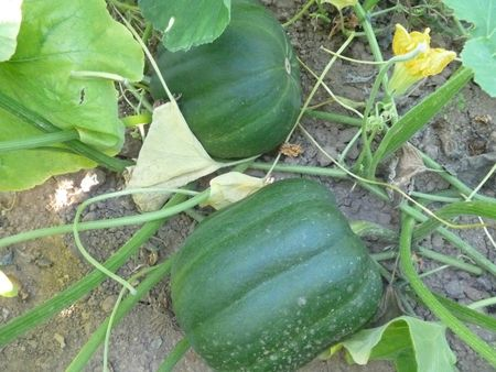 15-courges (26)