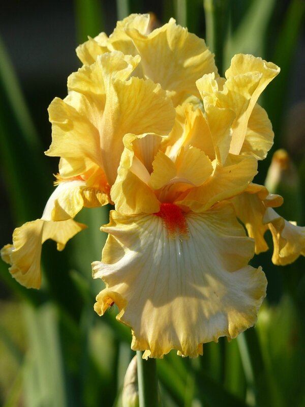 iris champagne waltz (2)