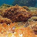 Girelle paon , gorgones , nudibranches ; langoustes 09.18