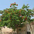 Fleurs - Flamboyant (1)