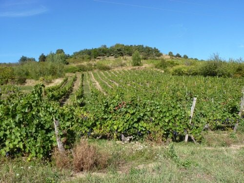 montebour_vigne
