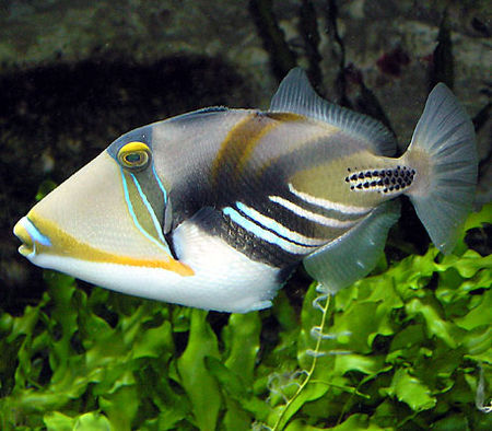 Picasso_triggerfish_wikiPD