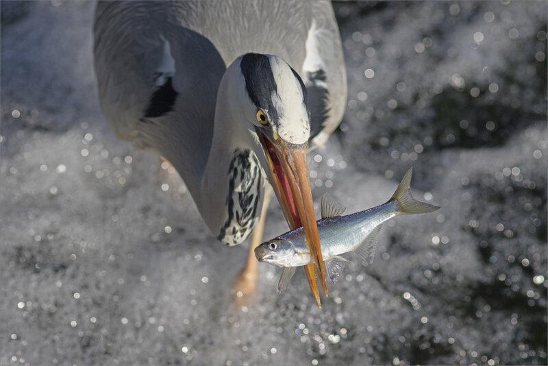 ville oiseau héron pêche 270319 ym 18