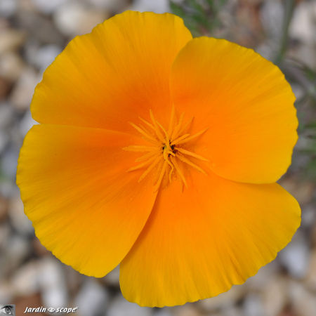 Pavot de Californie • Eschscholtzia californica