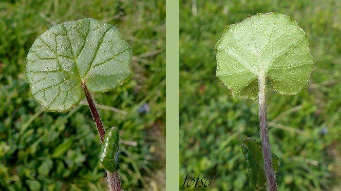 feuilles pétiolées limbe vert clair en dessous