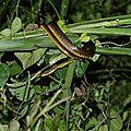 Chironius carinatus