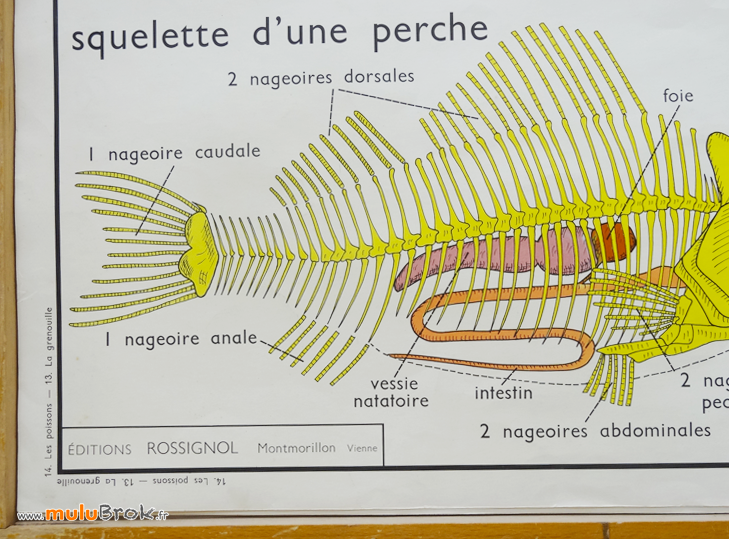 AFFICHE-SCOLAIRE-Grenouille-Poissons-12-muluBrok