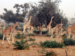 R_serve_De_Giraphes_de_Tour__au_Niger_Photo_8
