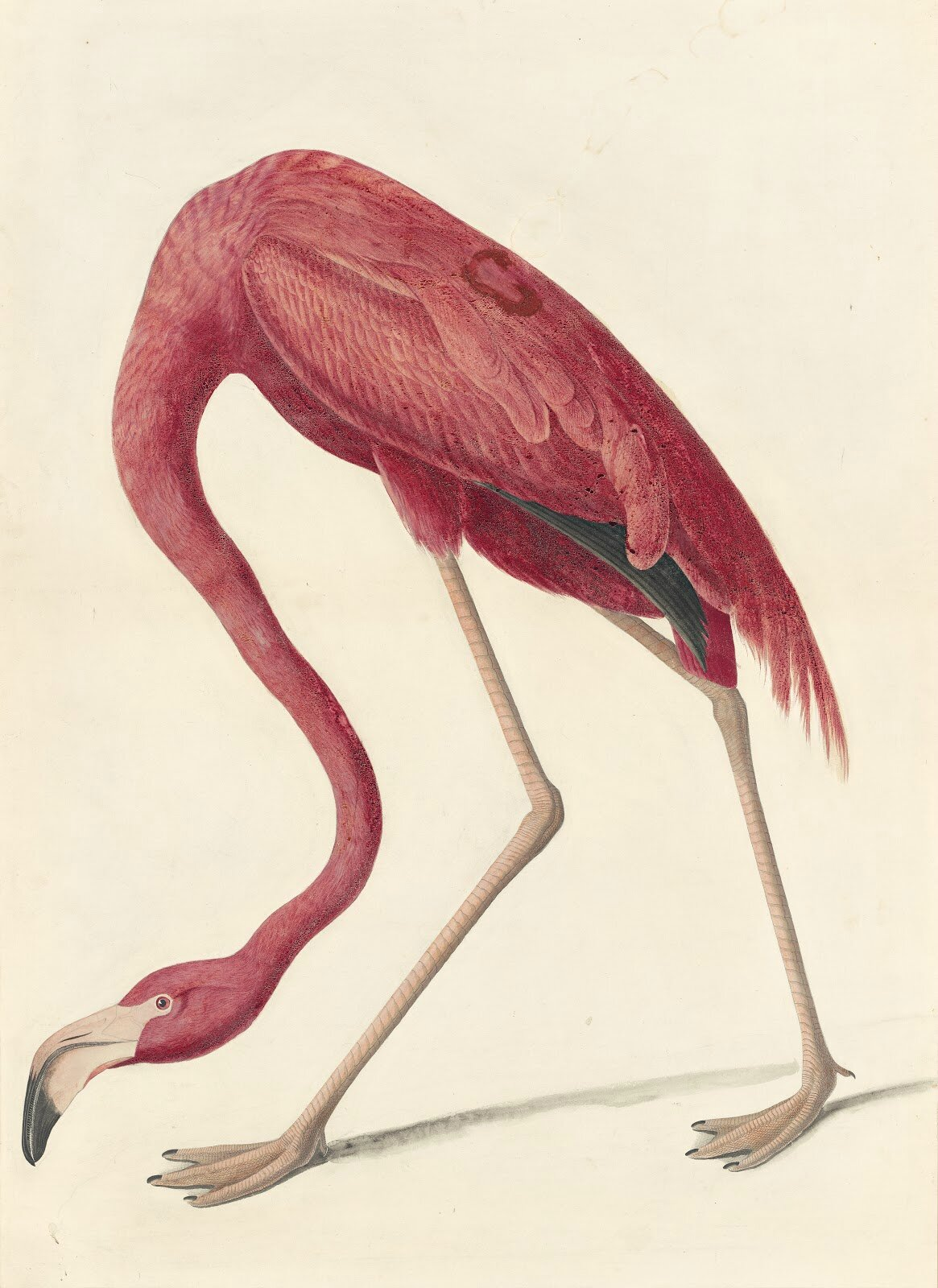 John James Audubon American Flamingo Phoenicopterus Ruber Study For Havell Pl 431 1838 Watercolor Graphite Gouache Black Ink And Pastel With