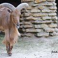 Mouflon à manchette 1