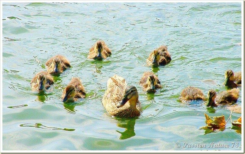 Les canards et leurs petits canetons.