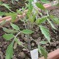 2008 04 22 Un plant de tomate coeur de boeuf