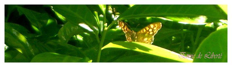 papillonEDlb