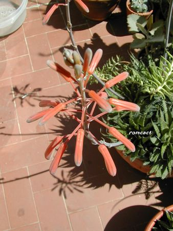 Aloe_aristata__1_