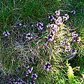 Thym serpolet, thymus serpyllum.