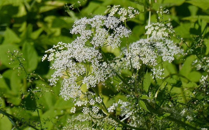 fleurs blanches en ombelles