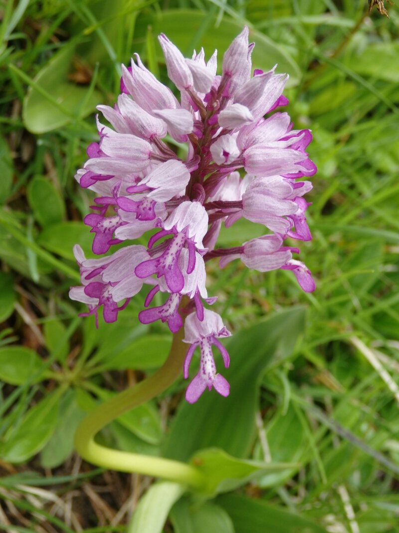 orchis guerrier (2)