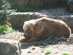 Gros_ours