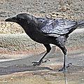 La corneille noire souvent confondue avec le corbeau