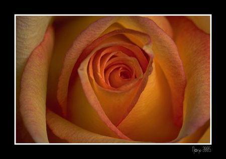 rose_mordor_e