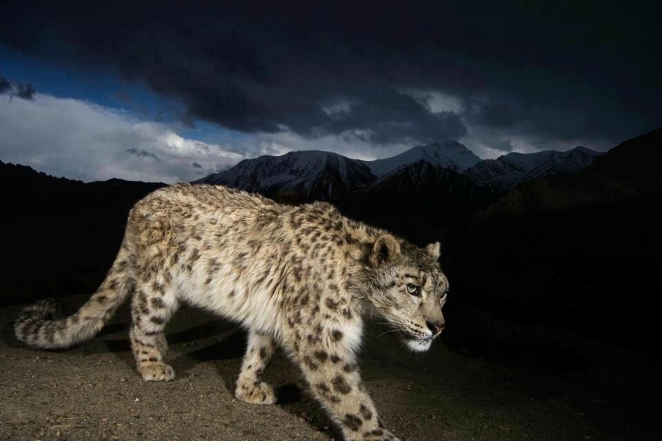 leopard des neiges 1425