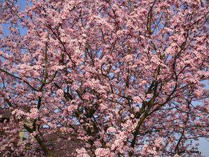 photo-fleurs-cerisier-japonais-big