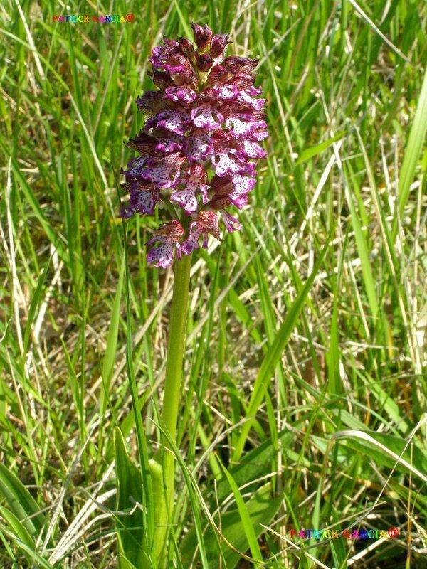 12 Orchis Purpuréa'+ 485_1 10 copie