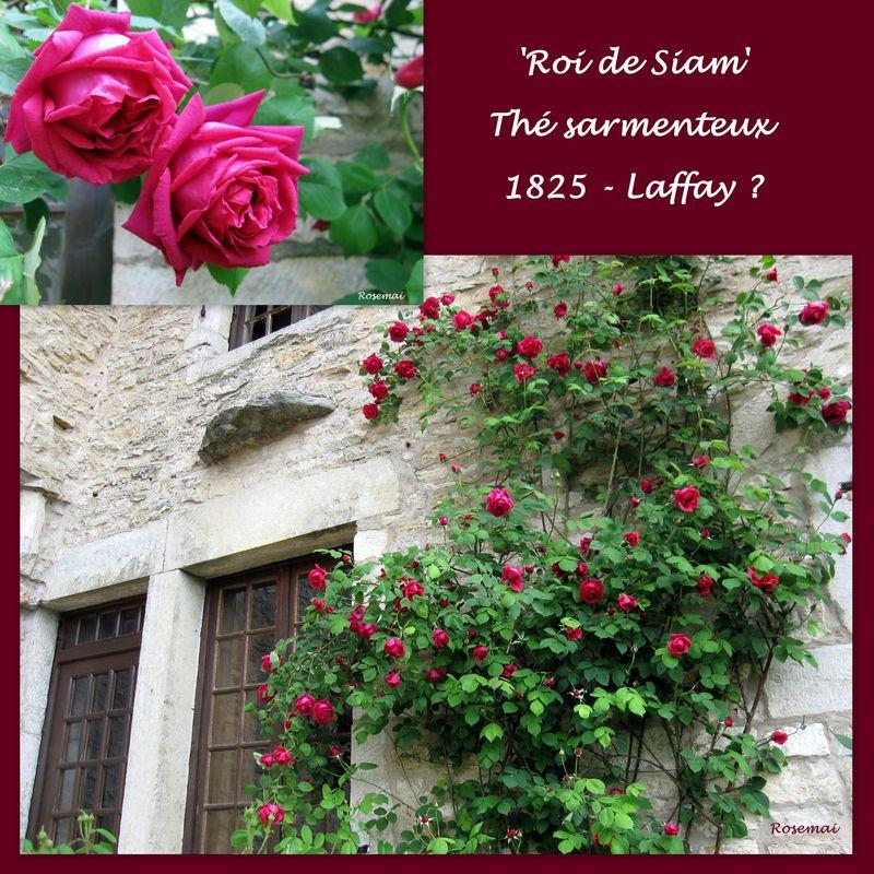 Rose ancienne : 'Roi de Siam'